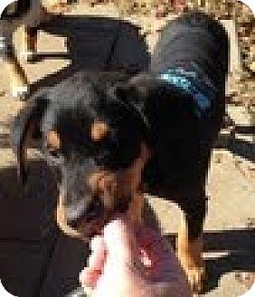 German Shepherd Dog/Golden Retriever Mix Puppy for adoption in ST LOUIS, Missouri - Max