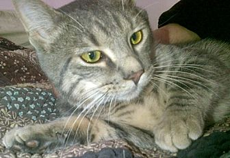 Domestic Shorthair Cat for adoption in Santa Fe, New Mexico - Bambino