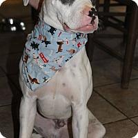Adopt A Pet :: Ike - Greenville, SC