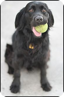 Flat-Coated Retriever/Retriever (Unknown Type) Mix Dog for adoption in Bellflower, California - Marley