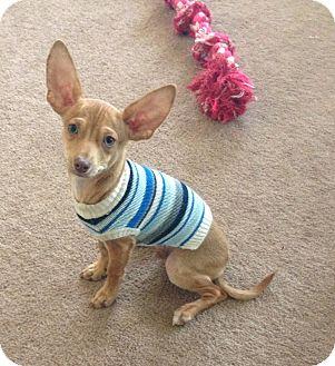 Rat Terrier/Dachshund Mix Puppy for adoption in Santa Ana, California - Blaine (ARSG)
