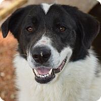 Adopt A Pet :: Bonnie - Wimberley, TX