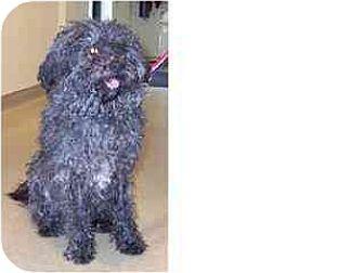 Bichon Frise Mix Dog for adoption in Kirkland, Quebec - Jack 2