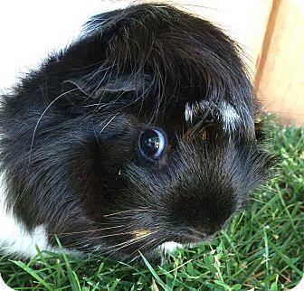 Guinea Pig for adoption in St. Paul, Minnesota - Kayak