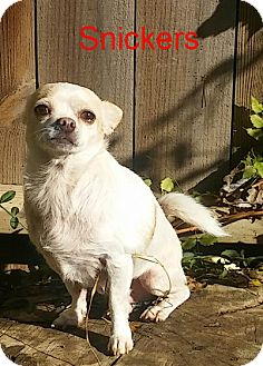 Chihuahua Dog for adoption in House Springs, Missouri - Snickers