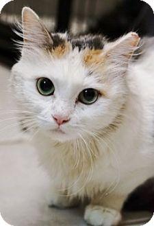 Calico Cat for adoption in Medford, Massachusetts - Vincenza
