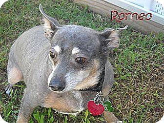 Chihuahua Mix Dog for adoption in Edmond, Oklahoma - Romeo