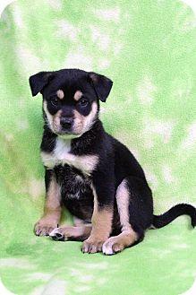 Shepherd (Unknown Type)/Labrador Retriever Mix Puppy for adoption in Westminster, Colorado - Bambina