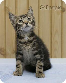 Domestic Shorthair Kitten for adoption in West Des Moines, Iowa - Gillespie