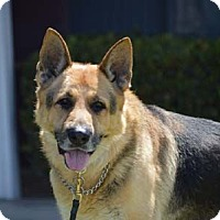 German Shepherd Dog Dog for adoption in Irvine, California - Colton