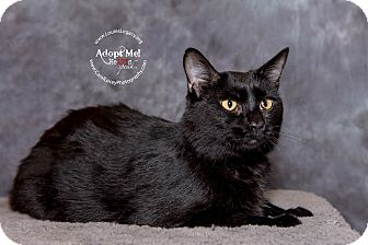 Domestic Shorthair Cat for adoption in Cincinnati, Ohio - Nori