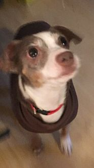 Chihuahua/Italian Greyhound Mix Dog for adoption in White Settlement, Texas - Poncha