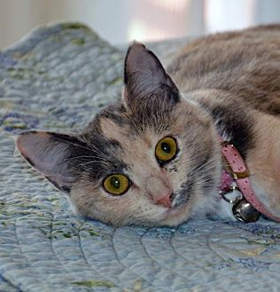 Calico Cat for adoption in Lago Vista, Texas - Tinker Bell