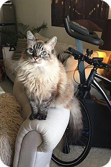 Siamese Cat for adoption in Washington, D.C. - Lilu