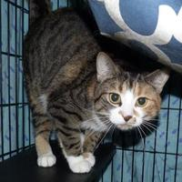 Domestic Shorthair/Domestic Shorthair Mix Cat for adoption in Meadow Lake, Saskatchewan - Biscuit