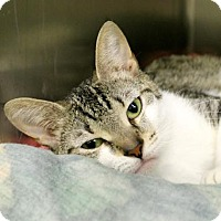 Domestic Shorthair Cat for adoption in Richmond, Virginia - Shay