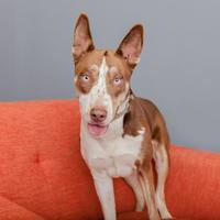 Adopt A Pet :: Jascoe - Mission Hills, CA