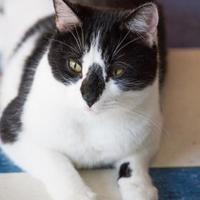 Domestic Shorthair/Domestic Shorthair Mix Cat for adoption in Thomasville, Georgia - Scooter