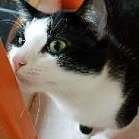 Adopt A Pet :: SOCKS - Little Rock, AR