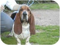 Basset Hound Dog for adoption in Folsom, Louisiana - Sonny