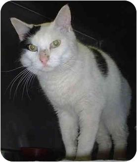 Domestic Shorthair Cat for adoption in Honesdale, Pennsylvania - Bon Bon