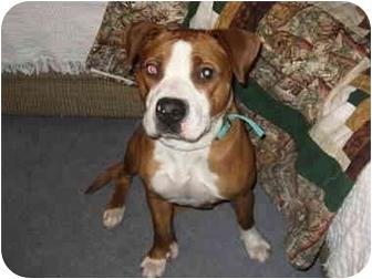 Boxer/American Pit Bull Terrier Mix Dog for adoption in Watertown, South Dakota - Mimi