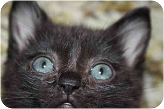 American Shorthair Kitten for adoption in San Pedro, California - Jelly Bean