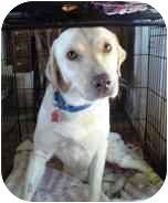 Labrador Retriever Mix Dog for adoption in Torrance, California - Balou
