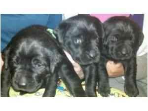Labrador Retriever Mix Puppy for adoption in Bel Air, Maryland - Bella