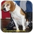 Photo 2 - Beagle Mix Dog for adoption in Somerset, Pennsylvania - Taylor