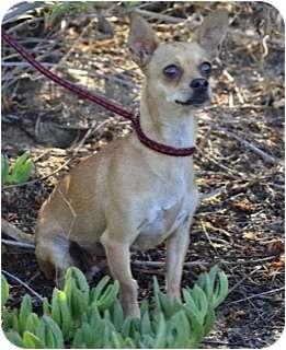 """Chihuahua Dog for adoption in Estes Park, Colorado - """"Buffy"""""""