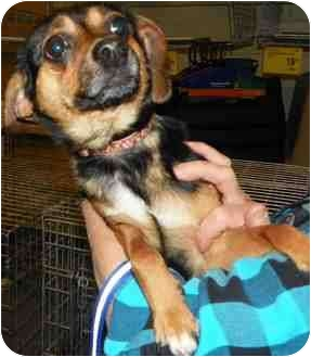 Miniature Pinscher Mix Dog for adoption in Loudonville, New York - Cookie