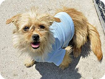 Terrier (Unknown Type, Small) Mix Dog for adoption in Corpus Christi, Texas - Addy