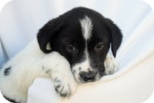 Border Collie/Labrador Retriever Mix Puppy for adoption in Plainfield, Illinois - Elvis