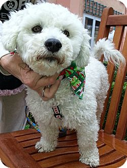 Poodle (Miniature)/Maltese Mix Dog for adoption in Thousand Oaks, California - Robbie