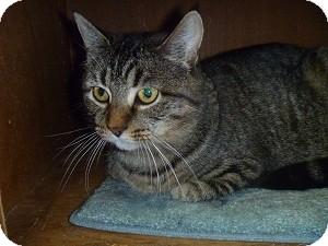 Domestic Shorthair Cat for adoption in Hamburg, New York - Taylor