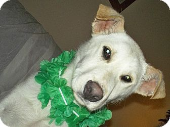 Shepherd (Unknown Type) Mix Dog for adoption in Vernon Hills, Illinois - Patrick