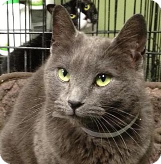 Russian Blue Cat for adoption in Brooklyn, New York - Earl