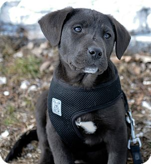 Labrador Retriever Mix Puppy for adoption in Mt. Prospect, Illinois - Tyler
