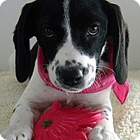Adopt A Pet :: Macy - Monteregie, QC