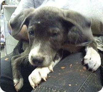 Cattle Dog/Labrador Retriever Mix Puppy for adoption in Shelter Island, New York - Isaiah