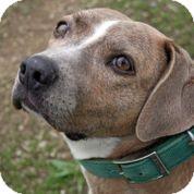 Beagle/American Staffordshire Terrier Mix Dog for adoption in Woodland, California - Gouda Garbo