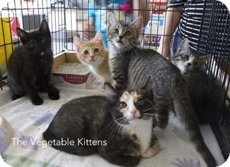 Domestic Shorthair Kitten for adoption in Merrifield, Virginia - Kale
