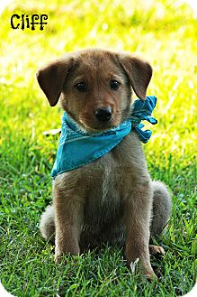 Labrador Retriever/Shepherd (Unknown Type) Mix Puppy for adoption in Brattleboro, Vermont - Cliff