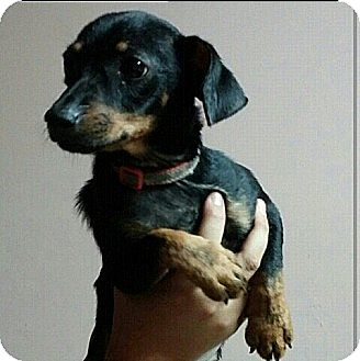 Chihuahua/Miniature Pinscher Mix Puppy for adoption in Miami, Florida - Jackie