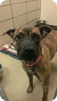 Pit Bull Terrier Mix Dog for adoption in Fort Wayne, Indiana - Avery