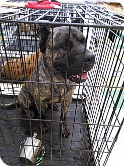Cane Corso Mix Dog for adoption in Clarkston, Michigan - Nitro
