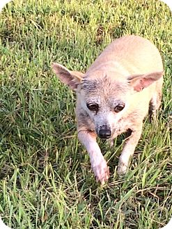 Chinese Crested/Chihuahua Mix Dog for adoption in El Campo, Texas - Camellia
