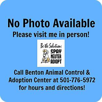 Labrador Retriever Mix Dog for adoption in Benton, Arkansas - Lacey