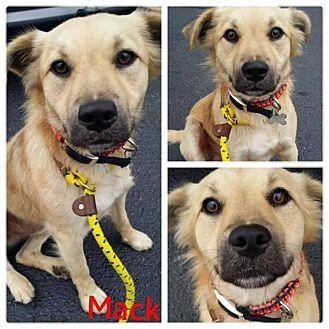 Golden Retriever/German Shepherd Dog Mix Dog for adoption in Garden City, Michigan - Mack